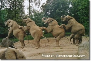 elefantes-bailando2